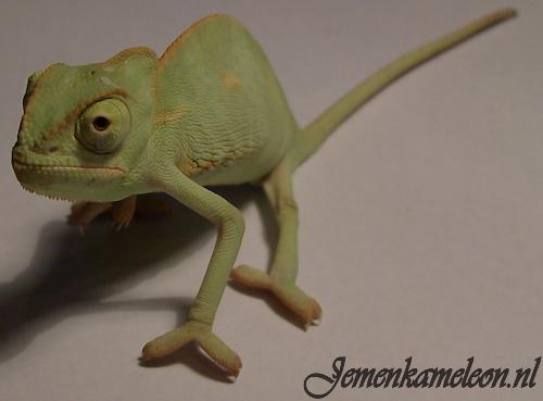 Chameleon Stiften Kopen